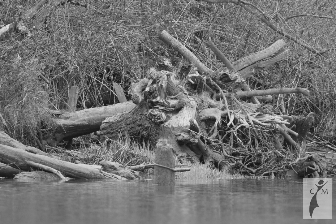 dead head Snohomish River Black and White