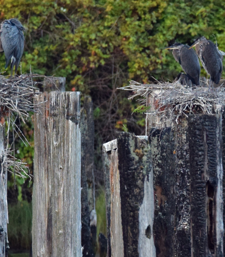 Nesting Great Blue Heron Everett Waterfront