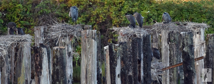 Nesting Great Blue Heron Everett Waterfront