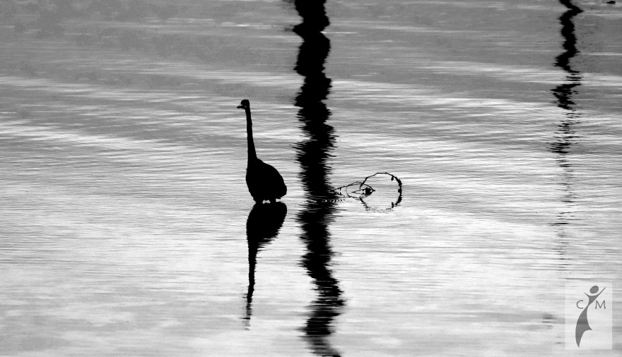 Great Blue Heron in black and white walking in water