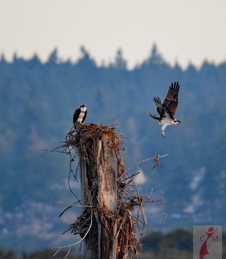 Osprey taking off from nest on Everett Waterfront