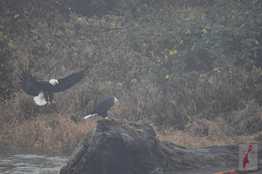 Eagles landing on a deadhead on the Skagit River Washington