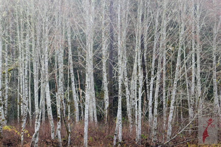 Birch Trees on the Skagit River Washington