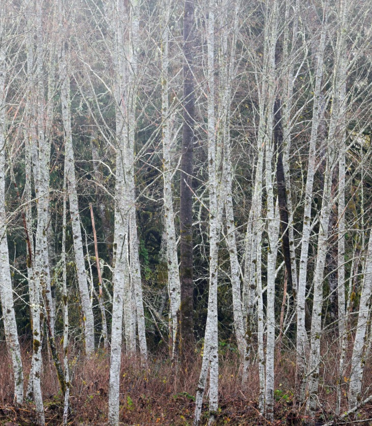 Birch Trees on the Skagit River Washington