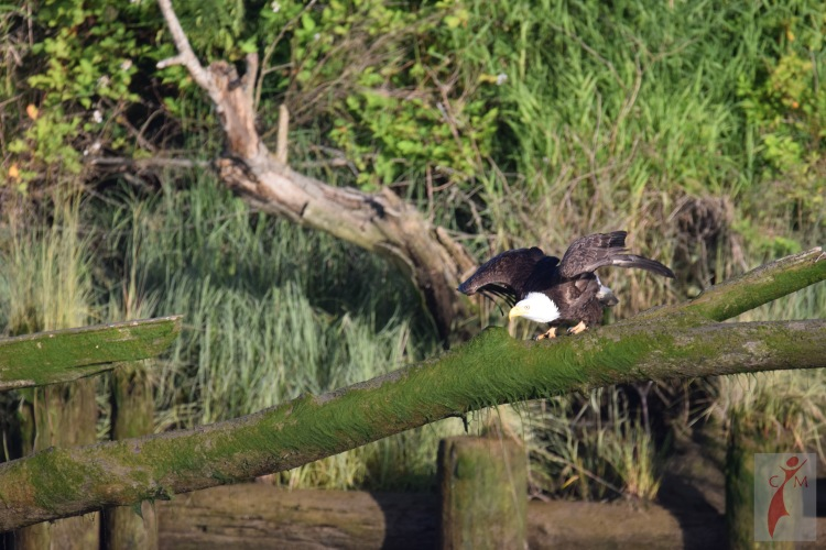 Eagle landing on a branch on the Snohomish River