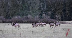 Elk herd in Concrete Washington