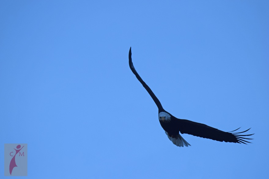 Eagle soaring over the Skagit River