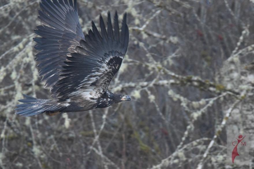 Young Eagle Skagit Washington