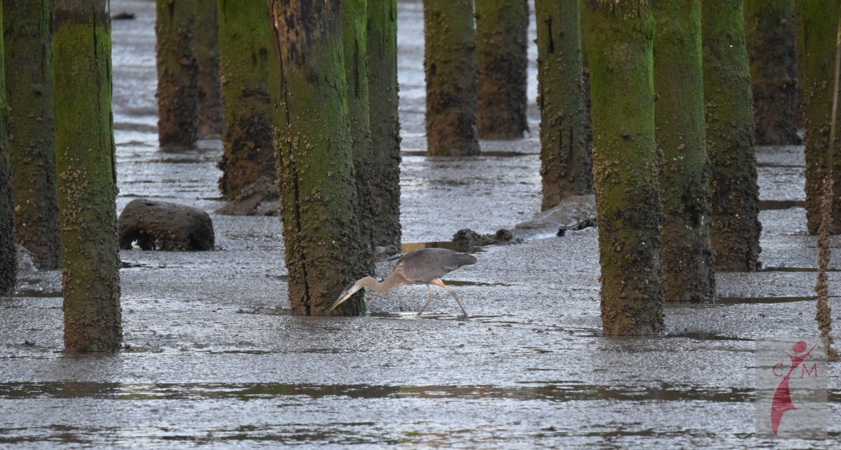 Great Blue Heron on shore