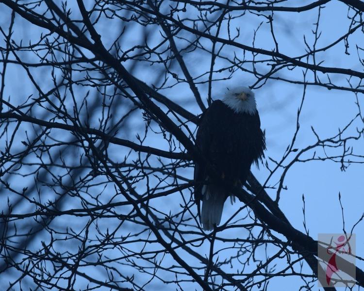 Eagle Skagit River