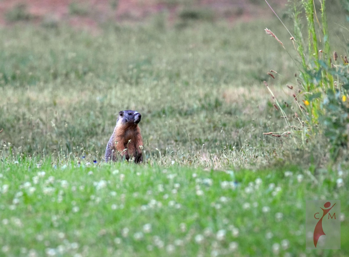 small brown mammal in a pasture