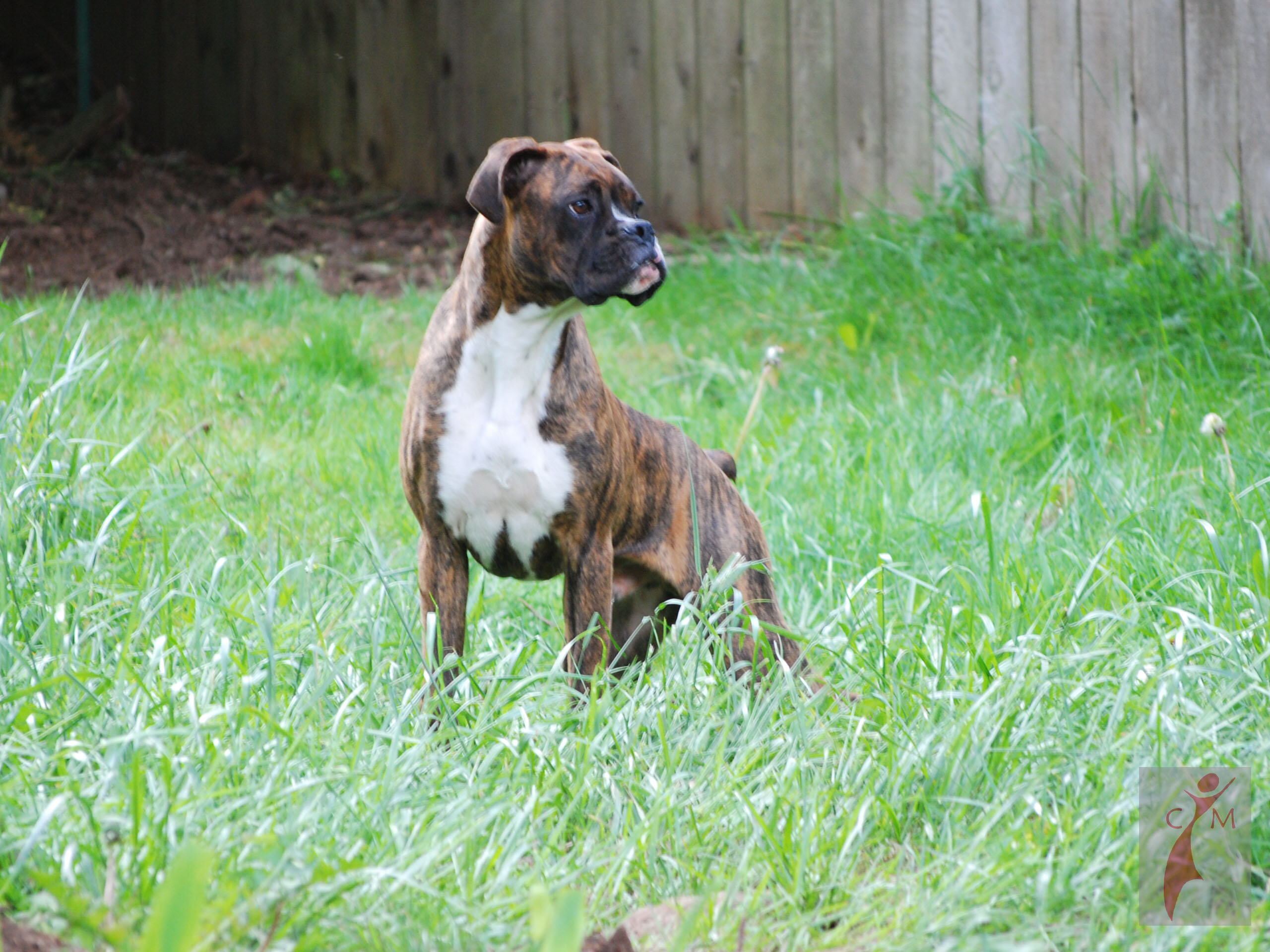 Brindle Boxer on alert in tall grass